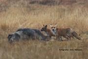 Kadaver keiler met vossen