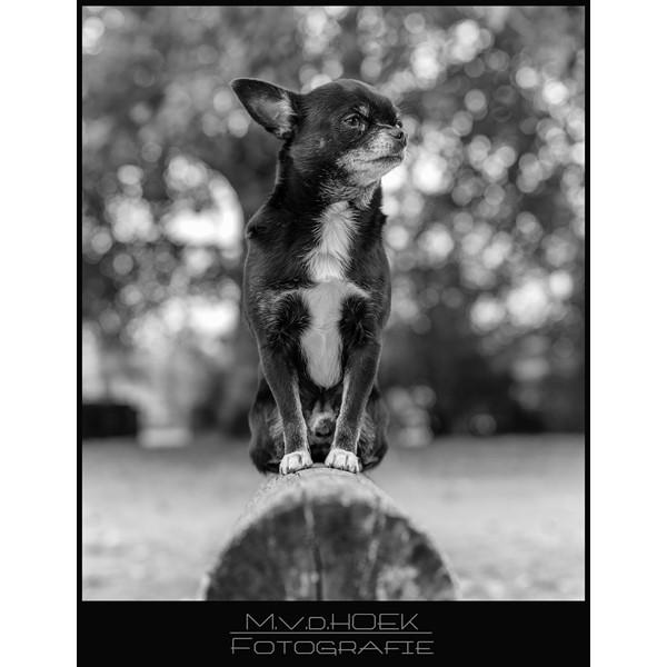 chihuahua Gringo AF-S 50mm f1.4