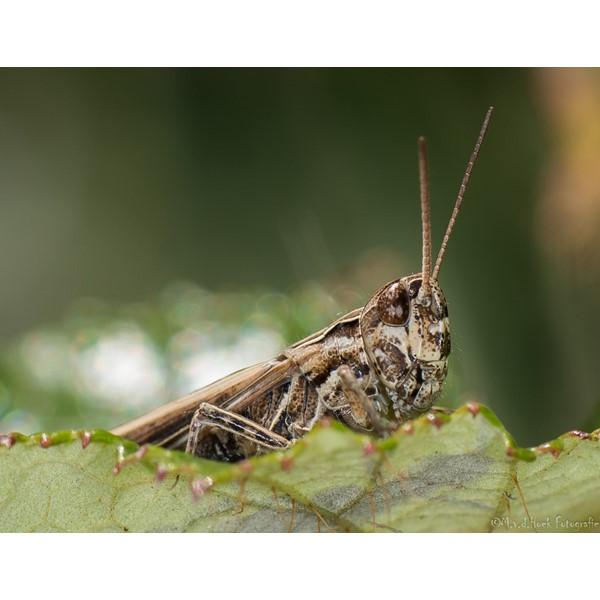 knopsprietje  myrmeleotettix marculatus.
