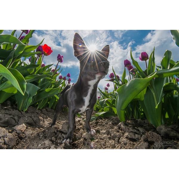 tegen de zon in (tulpen & Pablo)
